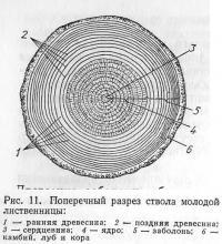 Рис. 11. Поперечный разрез ствола молодой лиственницы